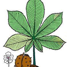 Horse chestnut leaf, flower and nut