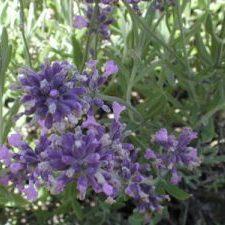Lavandula angustifolia Lavender in bloom
