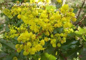 Mahonia aquifolium Oregon grape flowers