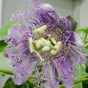 Passiflora incarnata Passionflower