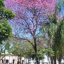 Pau D arco Handroanthus Tabebuia impetiginosa