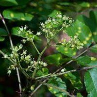Prickly ash Zanthoxylum clava herculis