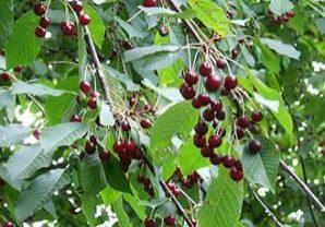 Prunus avium Wild cherry