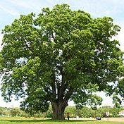Quercus alba White Oak Bark