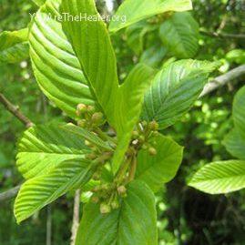 Rhamnus purshiana Cascara