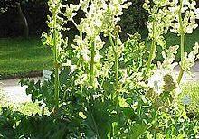 Rheum officinale Rhubarb root
