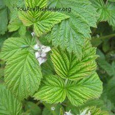 Rubus idaeus raspberry leaf