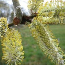 Salix Pussy Willow