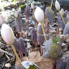 Sanguinaria canadensis Bloodroot