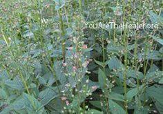 Scrophularia nodosa Figwort