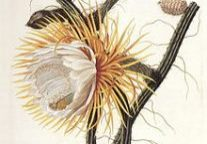 Selenicereus grandiflorus Cactus