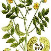 Senna Cassia spp.