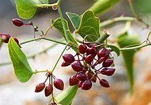Smilax ornata Sarsaparilla