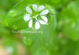 Stellaria media Chickweed flowering