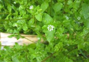 A photo of chickweed, showing leaves, and flowers.