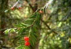 Taxus brevifolia Western Yew