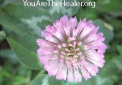 Trifolium pratense Red-clover