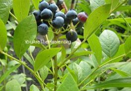 Vaccinium blueberry