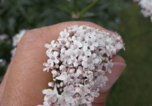 A photo of a hand holding Valerian flowers.