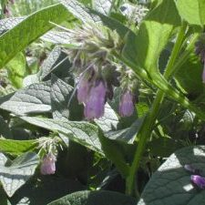 Symphytum Comfrey plant with healthy leaves and in full flower.