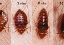 Photo of bed bugs feeding.