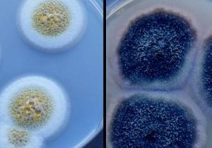 Photo of mold growing in petri dishes.