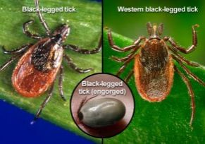 Photo of black-legged deer ticks.