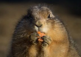 A photo of a critter eating a carrot.